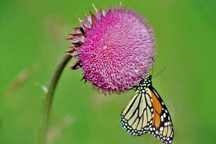 musk_thistle_01