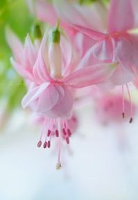 pink-fuschias