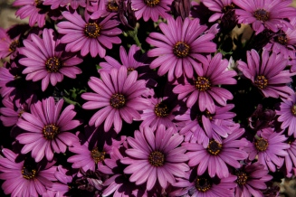 purple-daisy